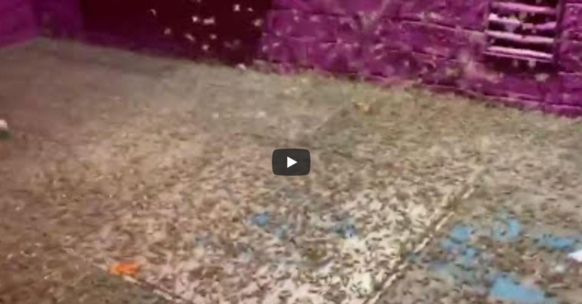 Watch: Grasshoppers swarm Las Vegas strip