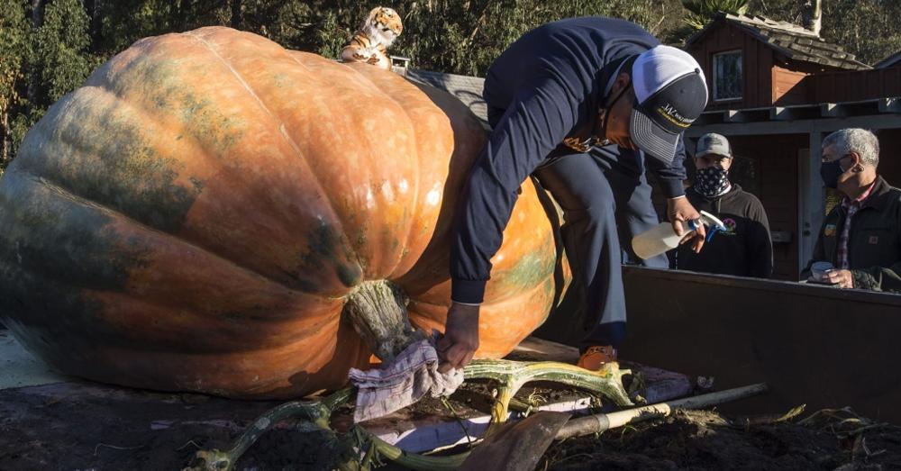 "2,350 pound pumpkin named ""The Tiger King"" wins pumpkin contest!"