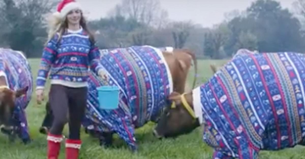 Farmer Dresses Cows in Big Christmas Sweaters