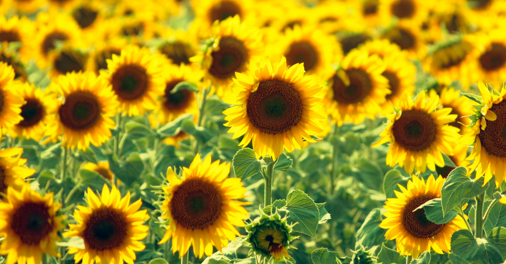 3 sunflower fields are opening to the public this year in Raleigh
