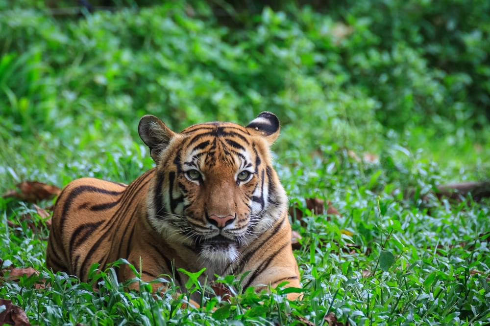 A Tiger At The Bronx Zoo Tests Positive for COVID-19