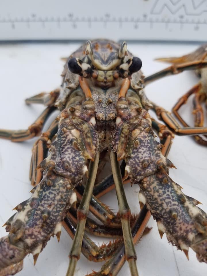 Lobster Lobster Lobster Lobster