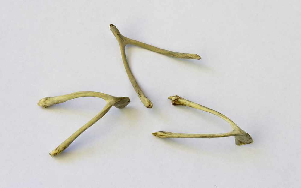 How to Win at Breaking the Wishbone for Thanksgiving . . . According to Science