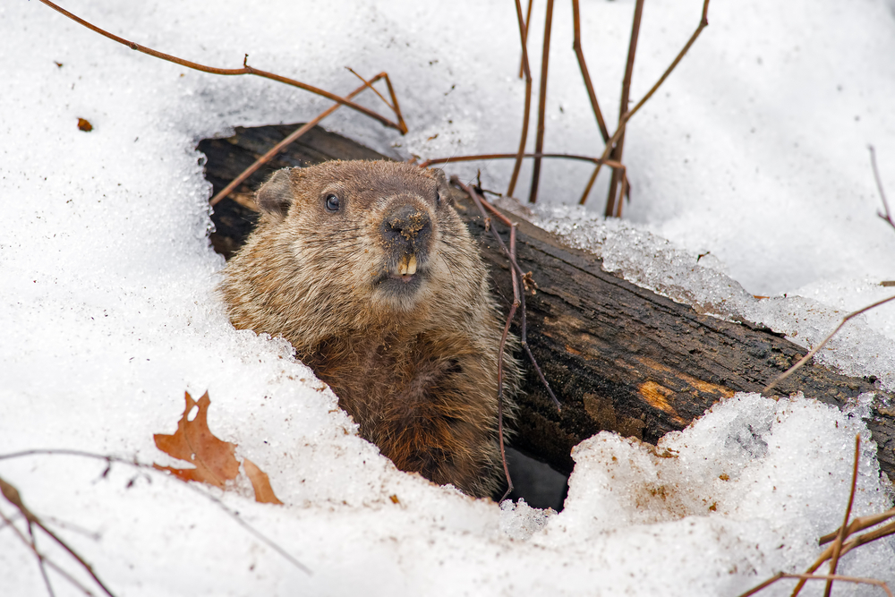 4% of People Think the Groundhog Is Right Every Time, Plus More Stats From a Groundhog Day Survey
