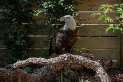 Eagle Landing Set to Open July 4 At  NC Aquarium at Pine Knoll Shores