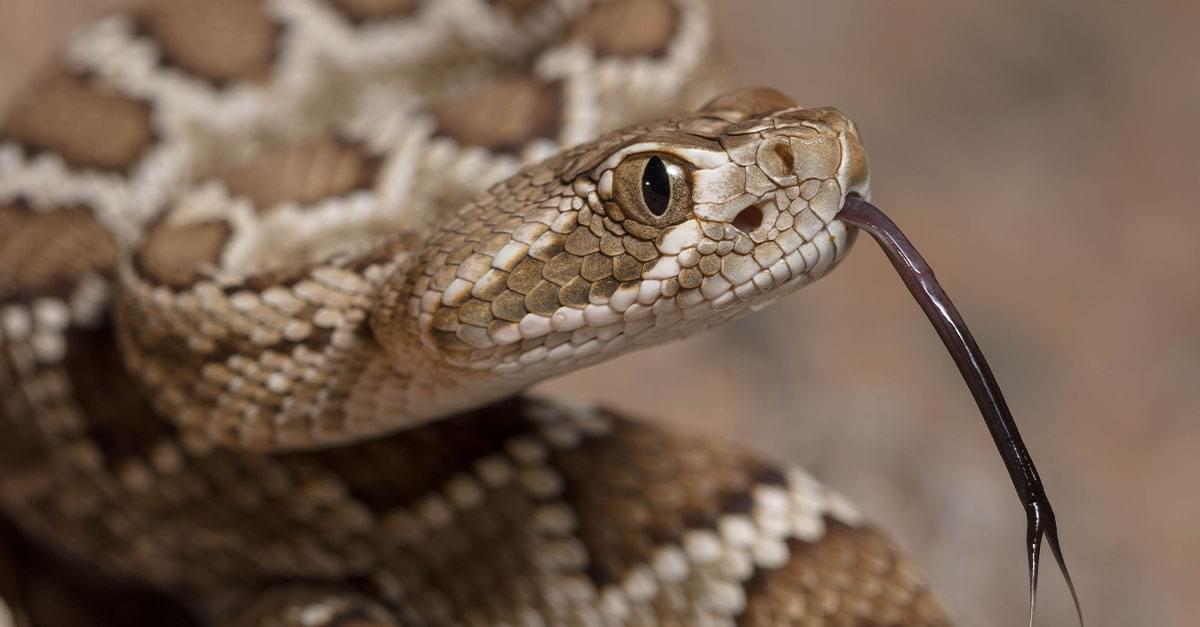 Homeowner finds 45 rattlesnakes under home