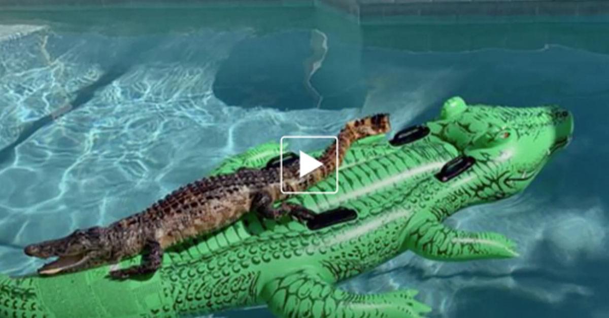 Alligator found Floating on inflatable Alligator in pool