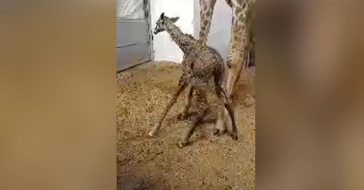 Watch: Baby Giraffe Take First Steps at Greenville Zoo