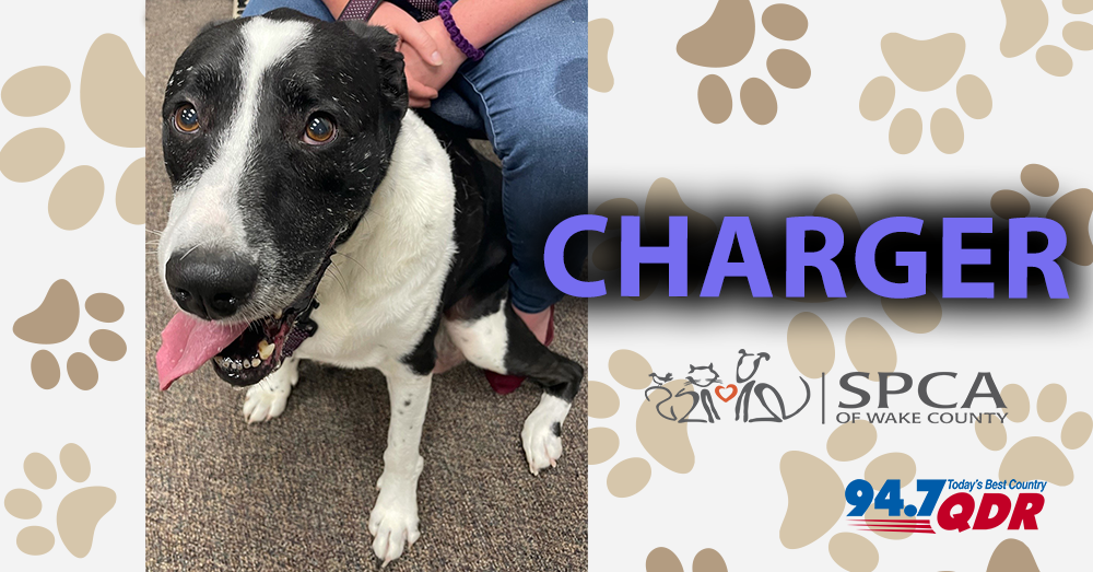 Meet Charger From The SPCA of Wake County!