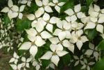 April Plant Spotlight: Kousa Dogwood