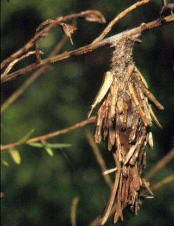 Be On The Lookout For Bagworms