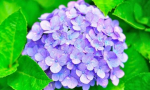 Plant Spotlight: Hydrangeas