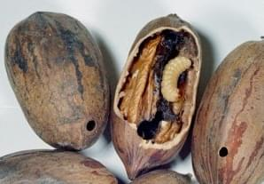 Time To Plan For Controlling Pecan Weevil