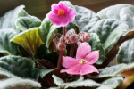 Have No Fear Of African Violets