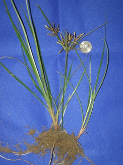 Nutsedge: A Pesky Weed In The Garden & Landscape