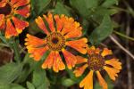 Late Blooming Perennials
