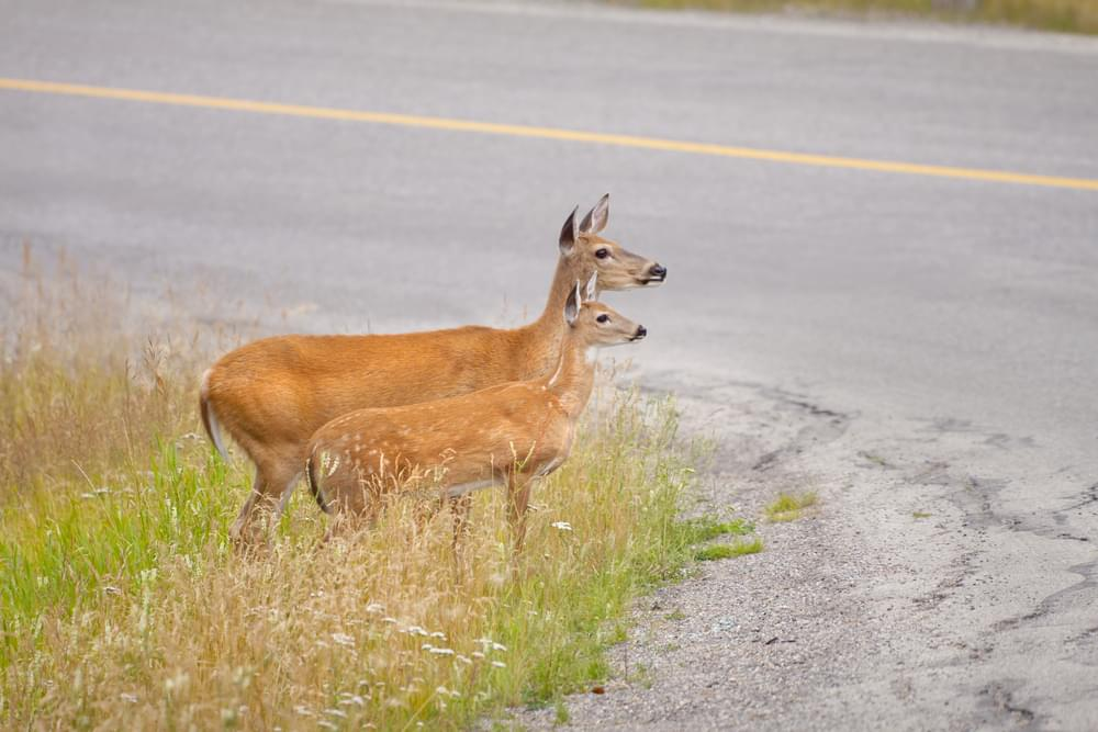 Animal-Vehicle Crashes Soar In Latest NCDOT Report