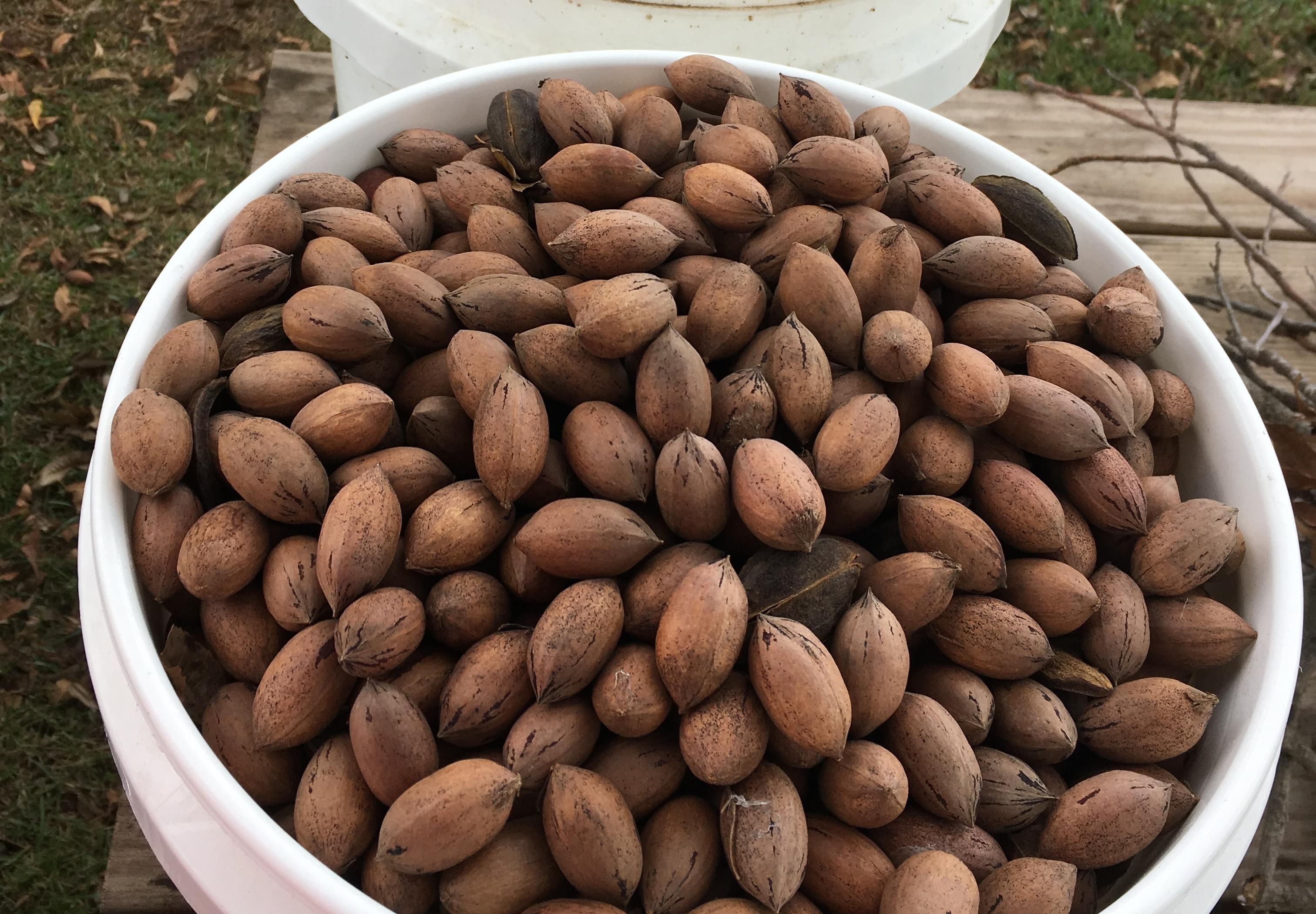 Pecan Farmers Celebrate Strong Season