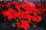 Poinsettias Make The Holidays Bright