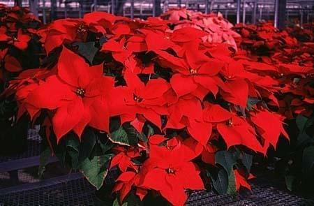 Poinsettias Make The Holidays Bright