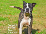 PET OF THE WEEK: Sargent Powered By Jackson & Sons