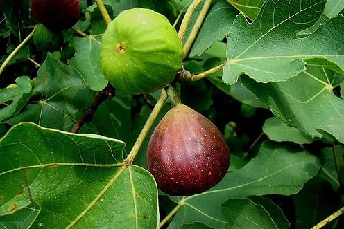 Successfully Grow Fruit Trees In Your Garden
