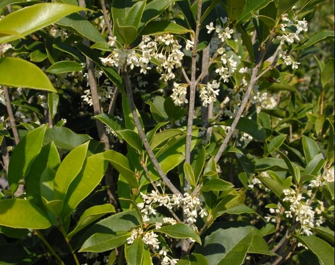 Plant Spotlight: Tea Olive