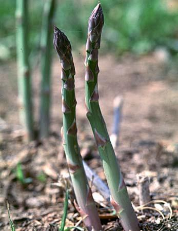 Time For Planting Asparagus