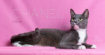 PET OF THE WEEK: Chanel Powered By Jackson & Sons