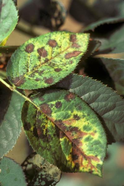 Common Rose Diseases