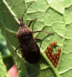 Lookout For Squash Bugs