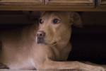 Fireworks May Frighten Fido This Fourth Of July