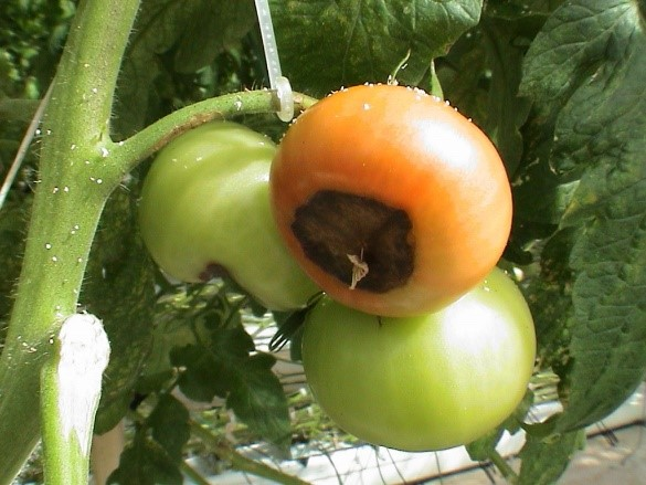 Watch Out For Common Tomato Problems In The Garden