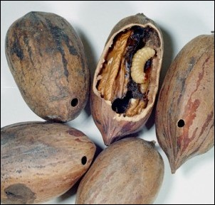 August Is Time For Managing Pecan Weevil