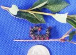 Watch Out For Azalea Caterpillars