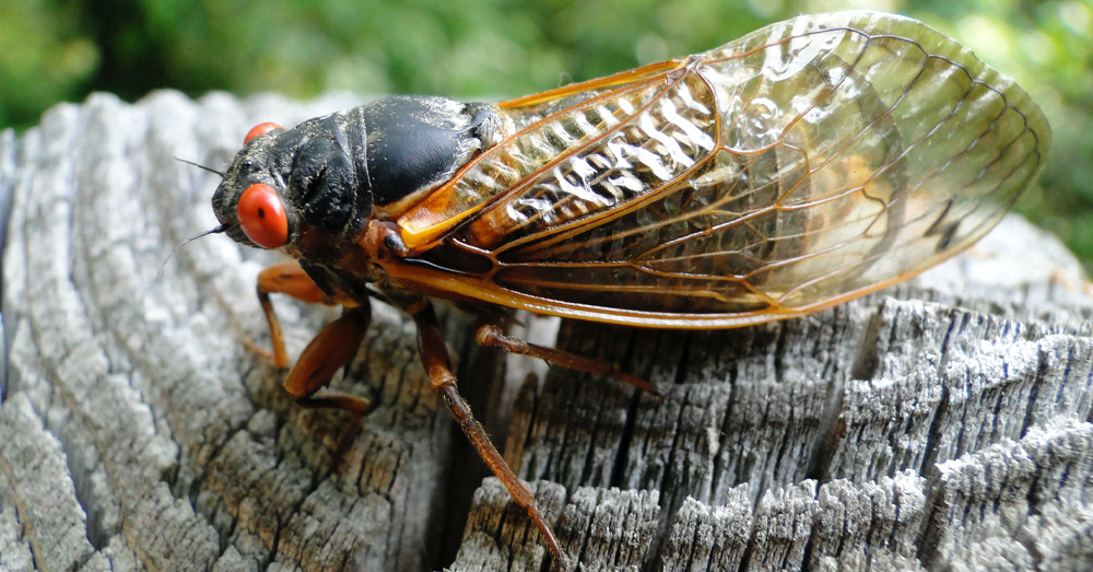 An Expected Summer Swarm of Cicadas This Summer?