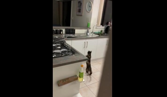 Adventurous Cat Falls for the Tin Foil Trick [WATCH]