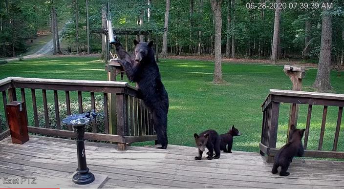Keswick Family Meets a Family of Bears in Backyard