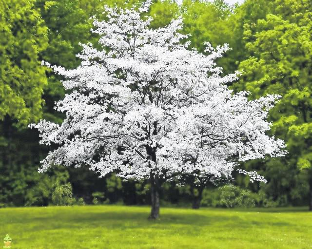 Dogwood Tree Sale (3/27)