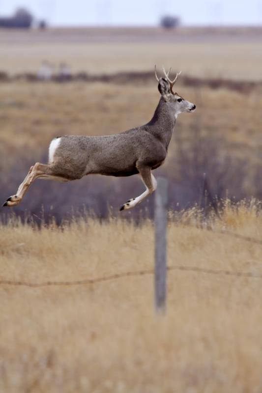 Mule Deer buck bounding over fence