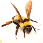 At-Risk Bumble Bee Found at Audubon's Spring Creek Prairie