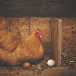 The Other Big Question Involving a Chicken