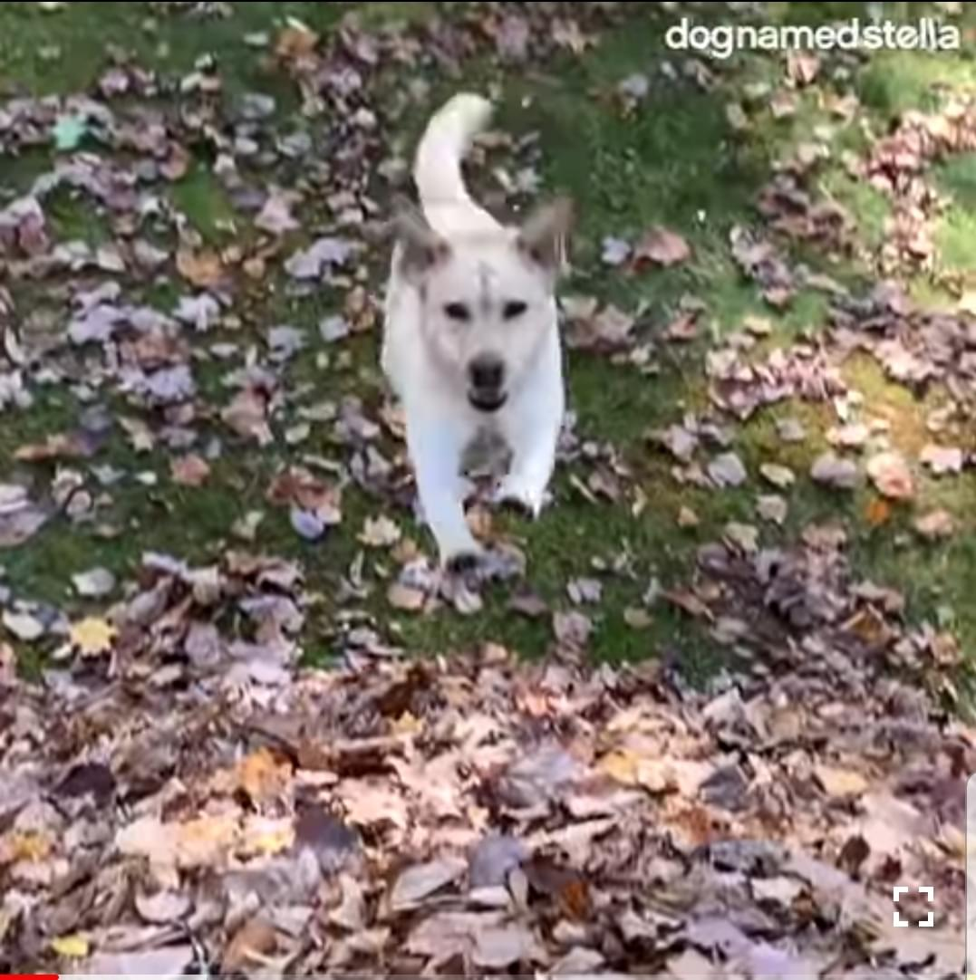 The Dog That Jumps Into Piles Of Leaves