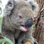 A Koala On Monday Sounds Like…[VIDEO]