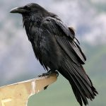 Ravens Stealing Costco Groceries