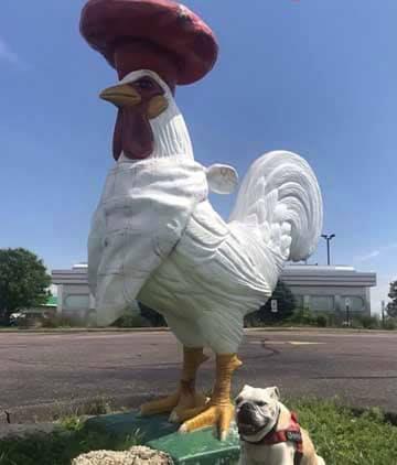 1 Missing Rooster. $1,000 Reward