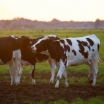 Japan Eliminating Restrictions On U.S. Beef
