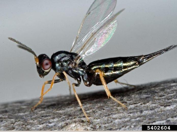 Chinese Wasps Introduced To Lincoln To Fight Emerald Ash Borer
