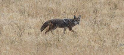 City Services Update: Animal Control Searching For Coyotes, Ballfield Registration To Open