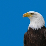 Bald Eagle Watch Weekend to have many bird-related programs this year
